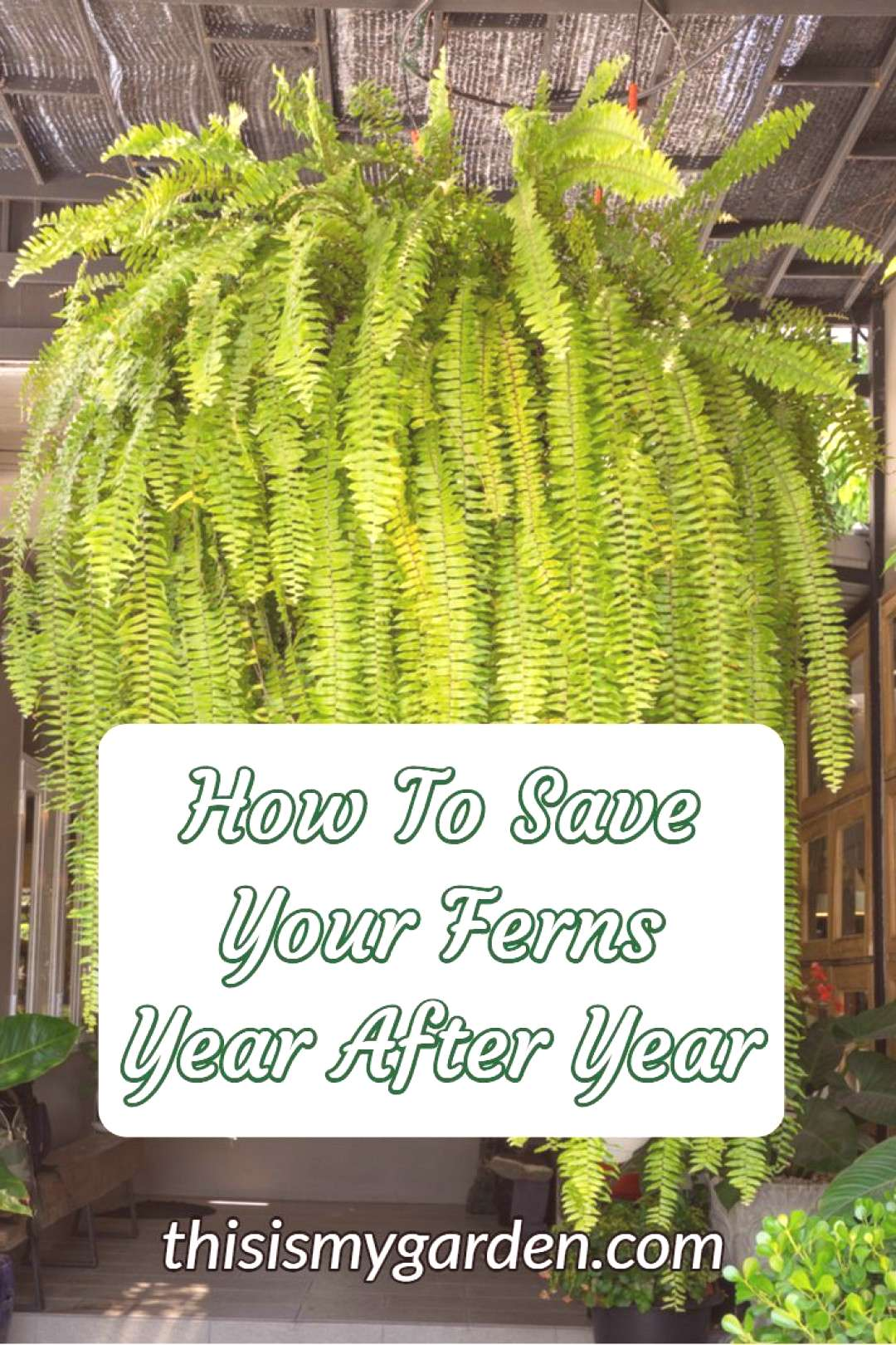 Potted Ferns Front Porches | Potted Ferns Front Porches potted ferns front porches amp potted ferns f